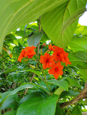 Cordia flowers can be used in all parts of the herb to treat intestinal diseases, gastritis and bronchitis. Banque d'images - 149581532