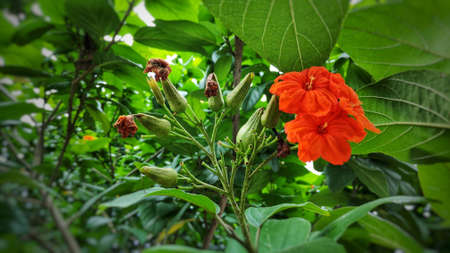 Cordia flowers can be used in all parts of the herb to treat intestinal diseases, gastritis and bronchitis. Banque d'images - 149581233