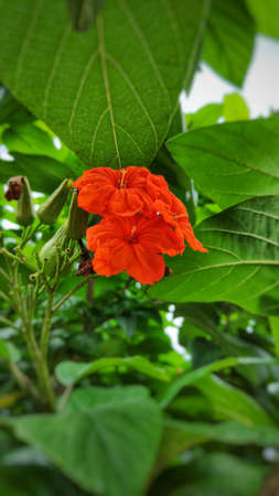 Cordia flowers can be used in all parts of the herb to treat intestinal diseases, gastritis and bronchitis. Banque d'images - 149580907