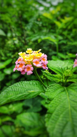 Lantana camara flowers are flowers of various colors in the same flower. Also used as an herb as well Fresh leaves have a bitter taste, help expel the swelling, tasteless flowers, giving a cool feeling. Anti-inflammatory, upset stomach, vomiting Root used to cure colds. Headache, toothache are mumps, but tree fruit must not be eaten because it is deadly poisonous.