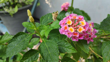 Lantana camara flowers are colorful flowers. Also using fresh leaves, flowers and roots as herbs. 写真素材