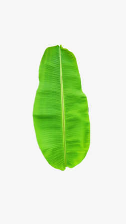 Picture of a banana leaf on a white background. Imagens