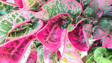 The texture pattern on the leaves of ornamental plants that are bright and beautiful, used as a background.