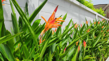 Heliconia psittacorum or golden torch flowers are planted along the fence.