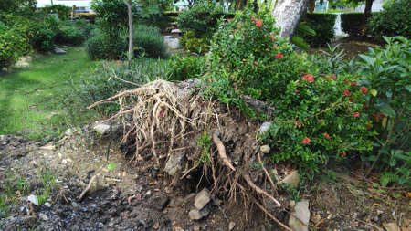 Stock Photo - The tree fell and was damaged, its roots were uprooted by a storm in the park. Stock fotó