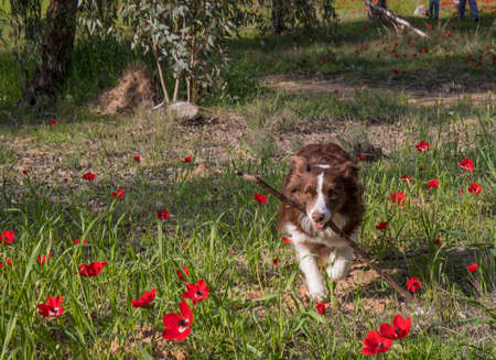 A border collie fetching a stick in a field of red flowers