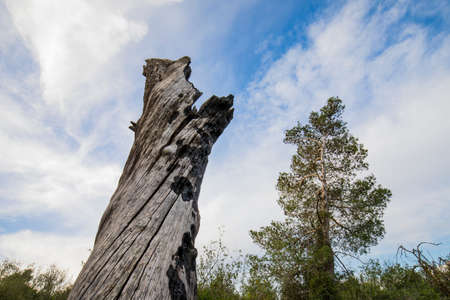 A big stump of a burnt tree in a forest after a fire