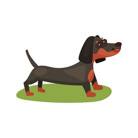 Dachshund dog, purebred pet animal standing on green grass colorful vector Illustration on a white background