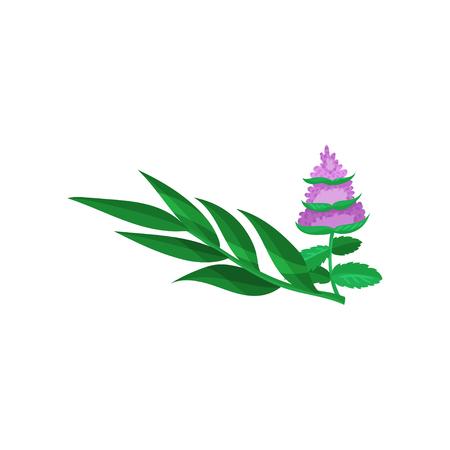 Eucalyptus branch and raw mint leaves cartoon vector Illustration Illustration