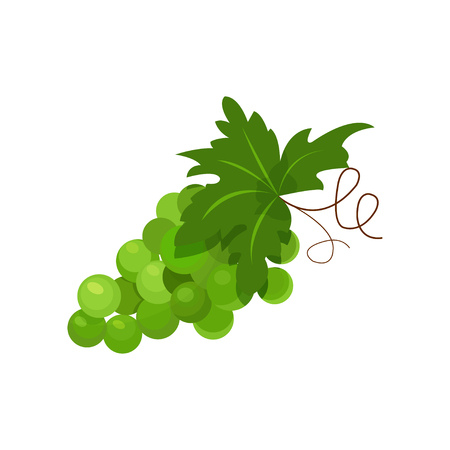 Branch of green grapes cartoon vector Illustration on a white background