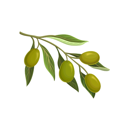 Olive branch with green olives vector Illustration on a white background Çizim