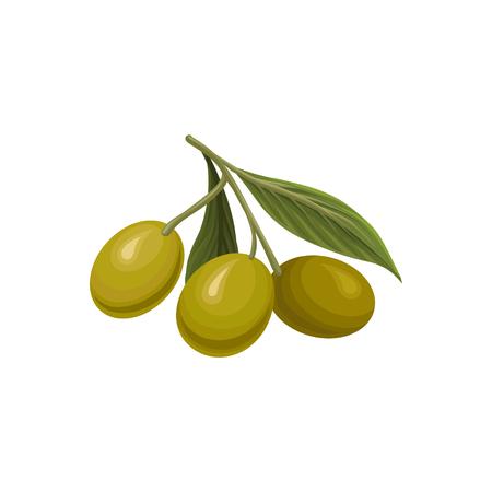 Olive branch with three green olives vector Illustration Illustration