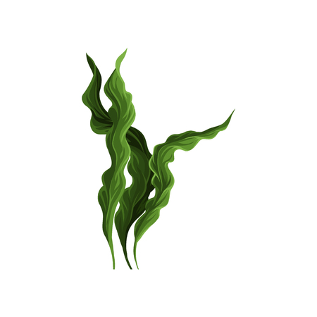 Underwater seaweed spirulina, aquatic marine algae plant vector Illustration on a white background