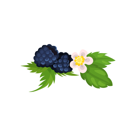 Blackberry with leaves and blossom vector Ilustration Illustration