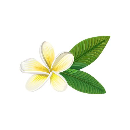 Frangipani flower with leaves vector illustration. Stock Vector - 94585498