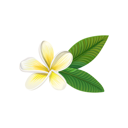 Frangipani flower with leaves vector illustration.