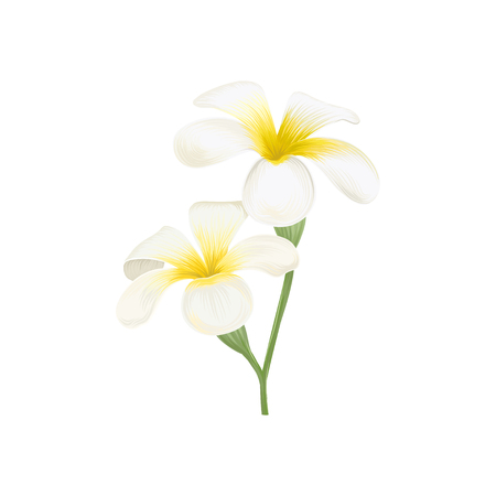 White and yellow plumeria frangipani flowers vector Illustration Illustration