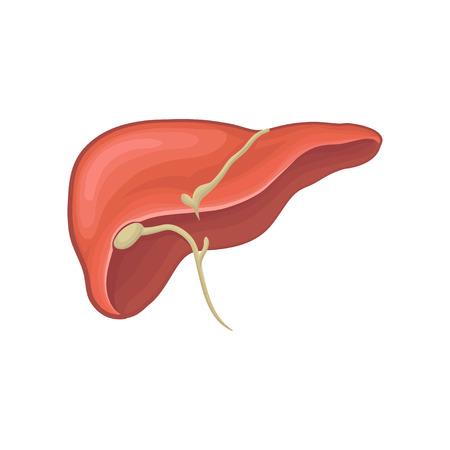 Structure of human liver. Organ of digestion. Biology and physiology concept. Graphic design for book, infographic or medical poster. Detailed flat vector illustration isolated on white background.