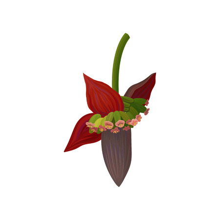 Blossom flower of banana palm tree. Exotic plant. Graphic design element for infographic of fruit cultivation. Detailed flat vector illustration