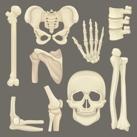 Parts of human skeleton. Skull, pelvic girdle, hand, humerus, lumbar spine, shoulder blade, knee joint. Flat vector for anatomical or medical book