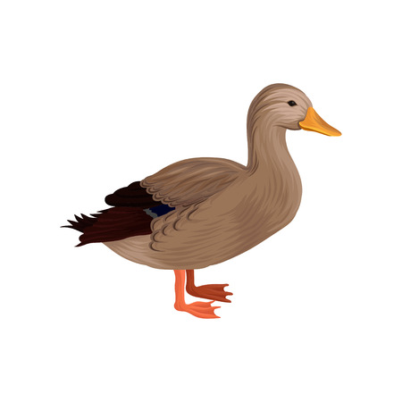 Domestic duck, poultry breeding vector Illustration on a white background