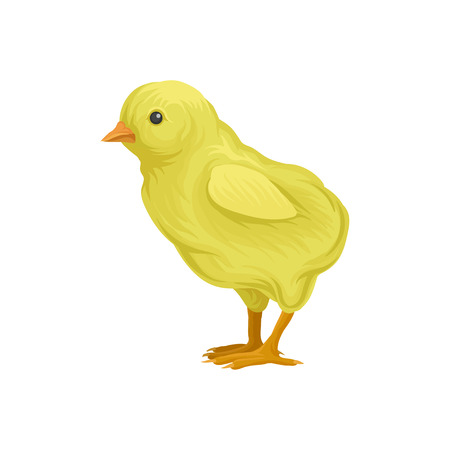 cute little yellow chick, poultry breeding vector Illustration on a white background