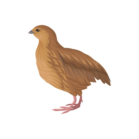 Quail, poultry breeding vector Illustration on a white background