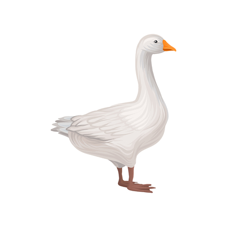 Domestic goose, poultry breeding vector Illustration on a white background