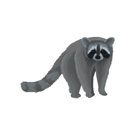 Racoon wild northern forest animal vector Illustration isolated on a white background.