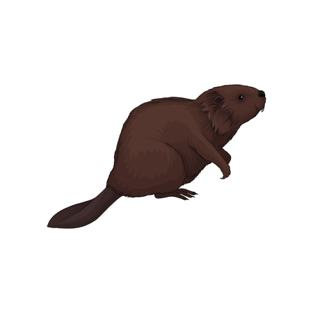 Brown beaver wild forest animal vector Illustration isolated on a white background. Illustration