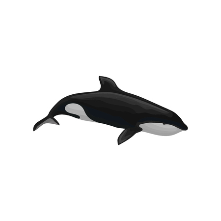 Killer whale marine mammal, inhabitant of sea and ocean vector Illustration isolated on a white background.