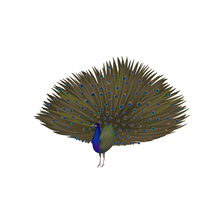 Detailed vector icon of peacock with plumage out. Elegant wild bird with big tail. Wildlife and fauna theme