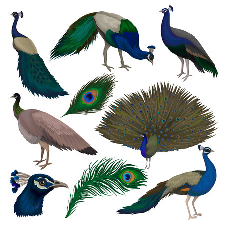 Detailed flat vector set of beautiful peacocks. Wild bird with colorful feathers. Wildlife and fauna theme