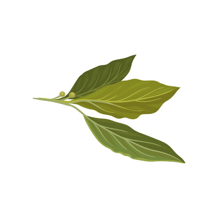 Flat vector icon of fresh green bay leaves. Herb used in culinary. Aromatic seasoning for dishes