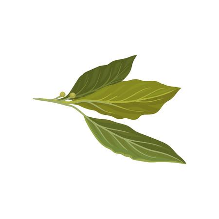 Flache Vektorikone der frischen grünen Lorbeerblätter. Kräuter in der Küche verwendet. Aromatisches Gewürz für Gerichte