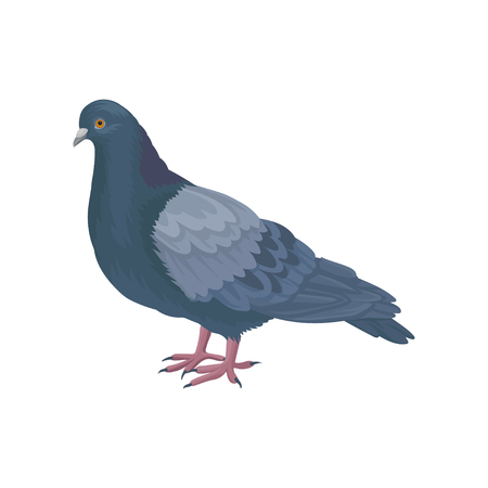 Detailed vector icon of pigeon dove. Bird with small head, short legs and blue-gray feathers. Wild feathered animal. Fauna theme Illustration