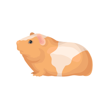 Flat vector icon of guinea pig with orange-white coat. Cute domestic animal. Home pet. Element for promo poster or banner of zoo store