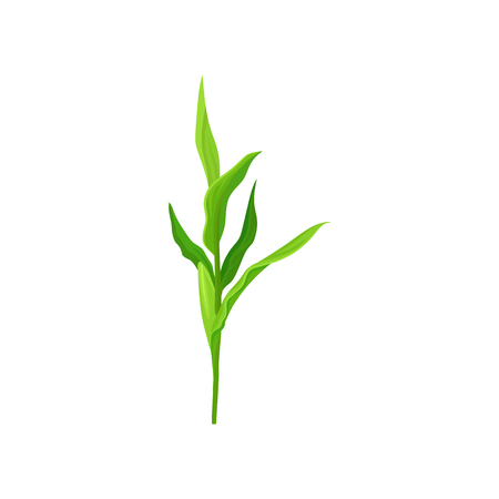 Green corn stalk vector Illustration on a white background