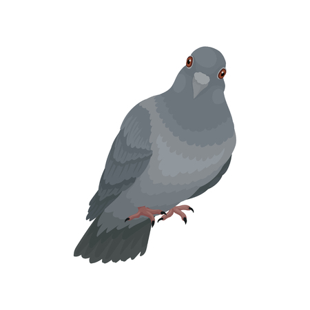 Cute grey urban pigeon vector Illustrations on a white background