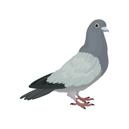 Grey urban pigeon, side view vector Illustrations on a white background 일러스트