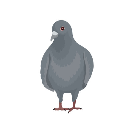 Cute grey urban pigeon bird standing, front view vector Illustrations on a white background