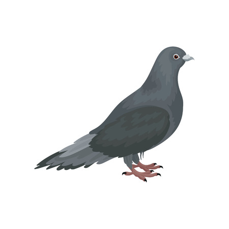 Cute grey urban pigeon bird standing, side view vector Illustrations on a white background 일러스트