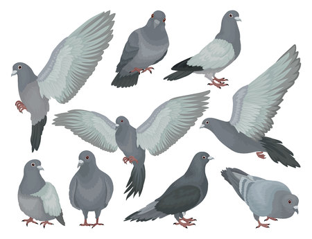Grey pigeons set, doves in different poses vector Illustrations on a white background