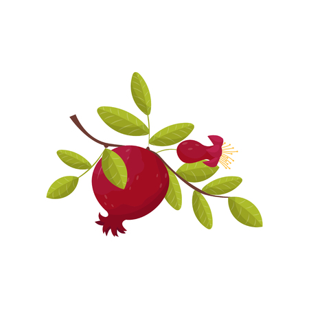 Pomegranate fresh fruit om a branch vector Illustration on a white background
