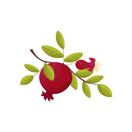Pomegranate fresh fruit om a branch vector Illustration on a white background