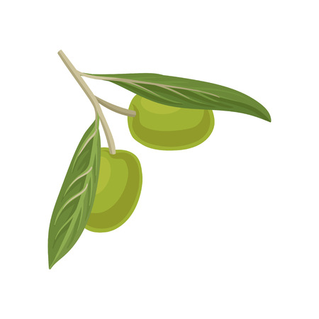 Olive branch, source of edible oil vector Illustration isolated on a white background.