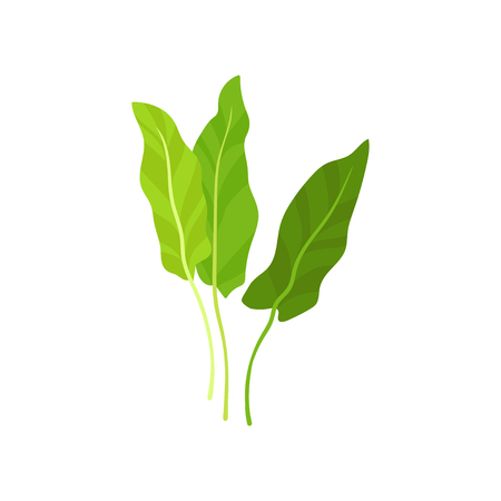 Cartoon illustration of fresh garden sorrel. Bright green leaves. Natural ingredient for vegetarian dish. Organic and healthy food. Colorful vector icon in flat style isolated on white background.