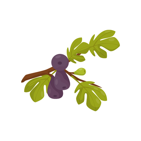 Fig tree branch vector Illustration isolated on a white background.