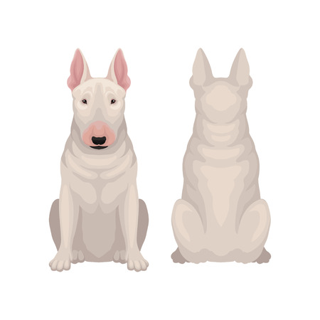Front and back view of sitting bull terrier. Dog with egg-shaped head and short white coat. Flat vector design