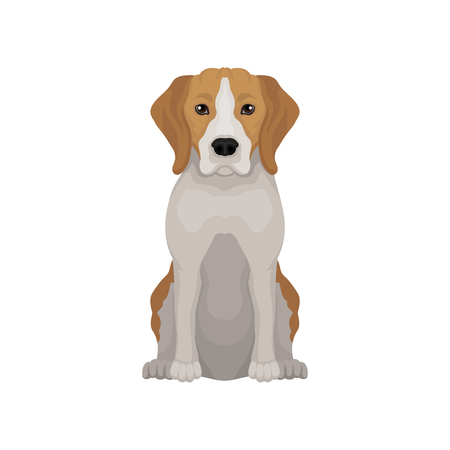 Lovely beagle in sitting position. Small hunting dog. Short-haired puppy with long ears and cute muzzle. Flat vector design